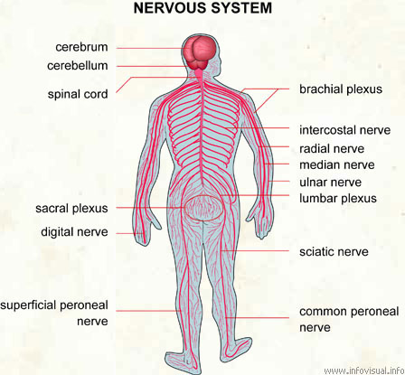 injury and recovery in the central nervous system